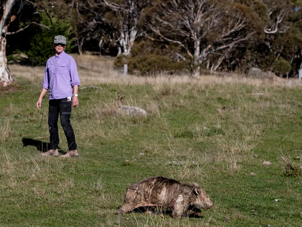 Elena Guarracino is a LAOKO wildlife rescue volunteer. She walks for kilometres each day tracking wombats that need mange treatment. Photograph: Lisa Hogben