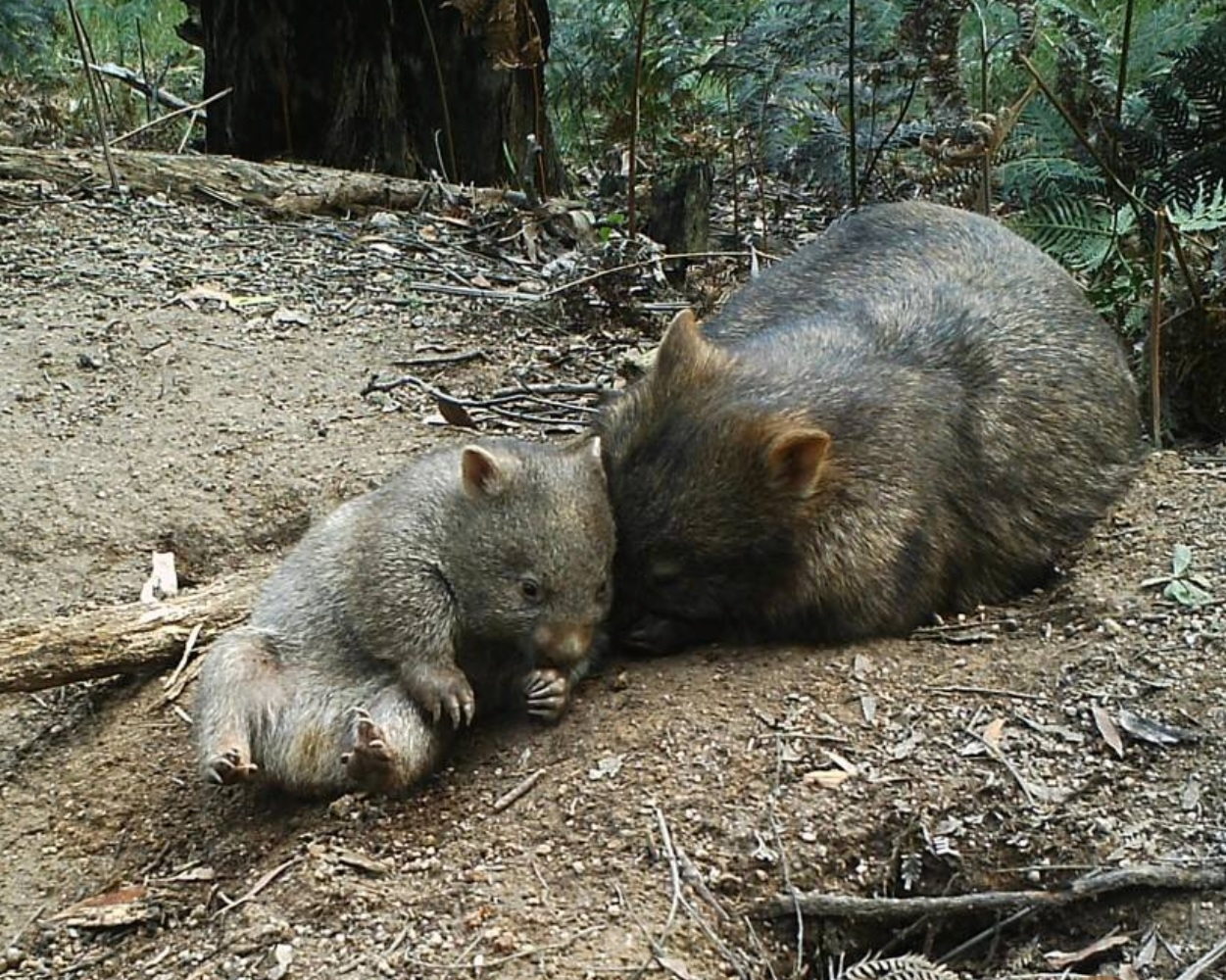 WPSA-wombat-care-facts