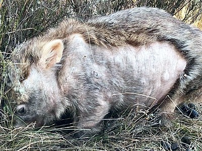 This wombat's fur is growing back nicely after being treated for mange.