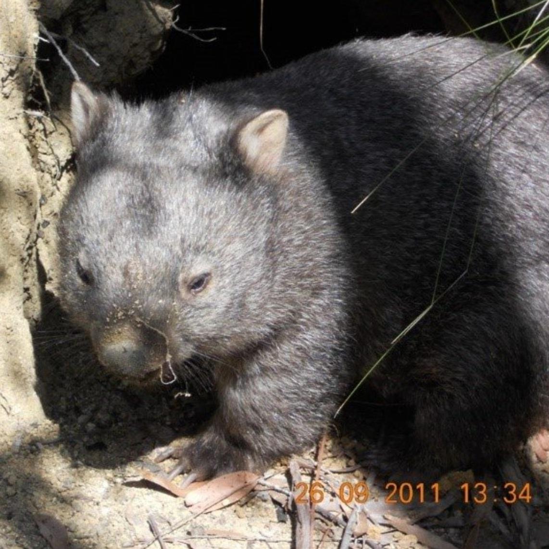 WPSA+release+wombat.jpg