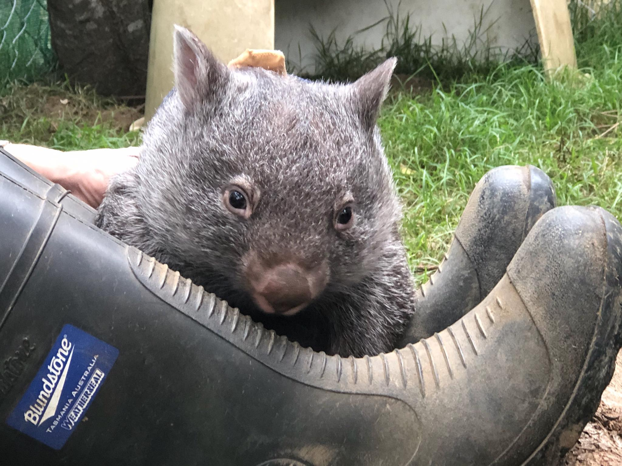 Allie, a very photogenic wombat.