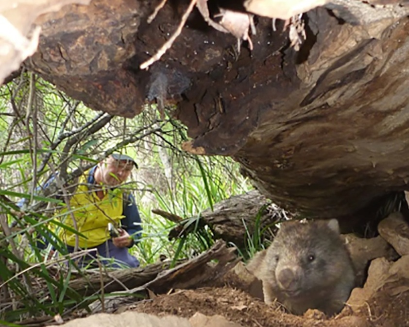 Wildlife sanctuary owner Ray Wynan inspects the burrow of a wombat that escaped logging.  Photograph: The Sydney Morning Herald