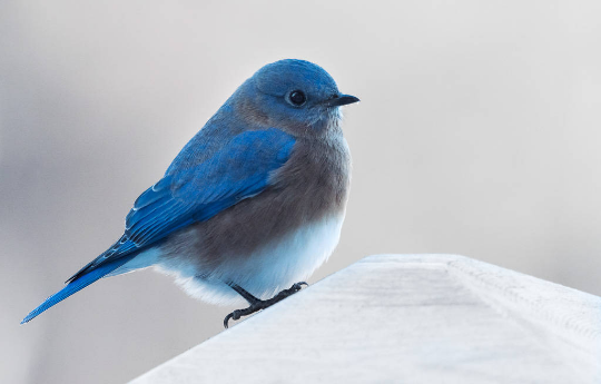 blue bird.png