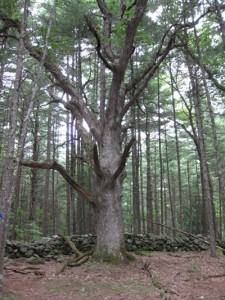 Acadian forest wolf tree (Photo: Maine Public Land Journal, 2009)