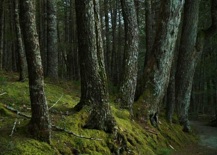 Relic hemlocks in an old growth forest. (MTRI photo)