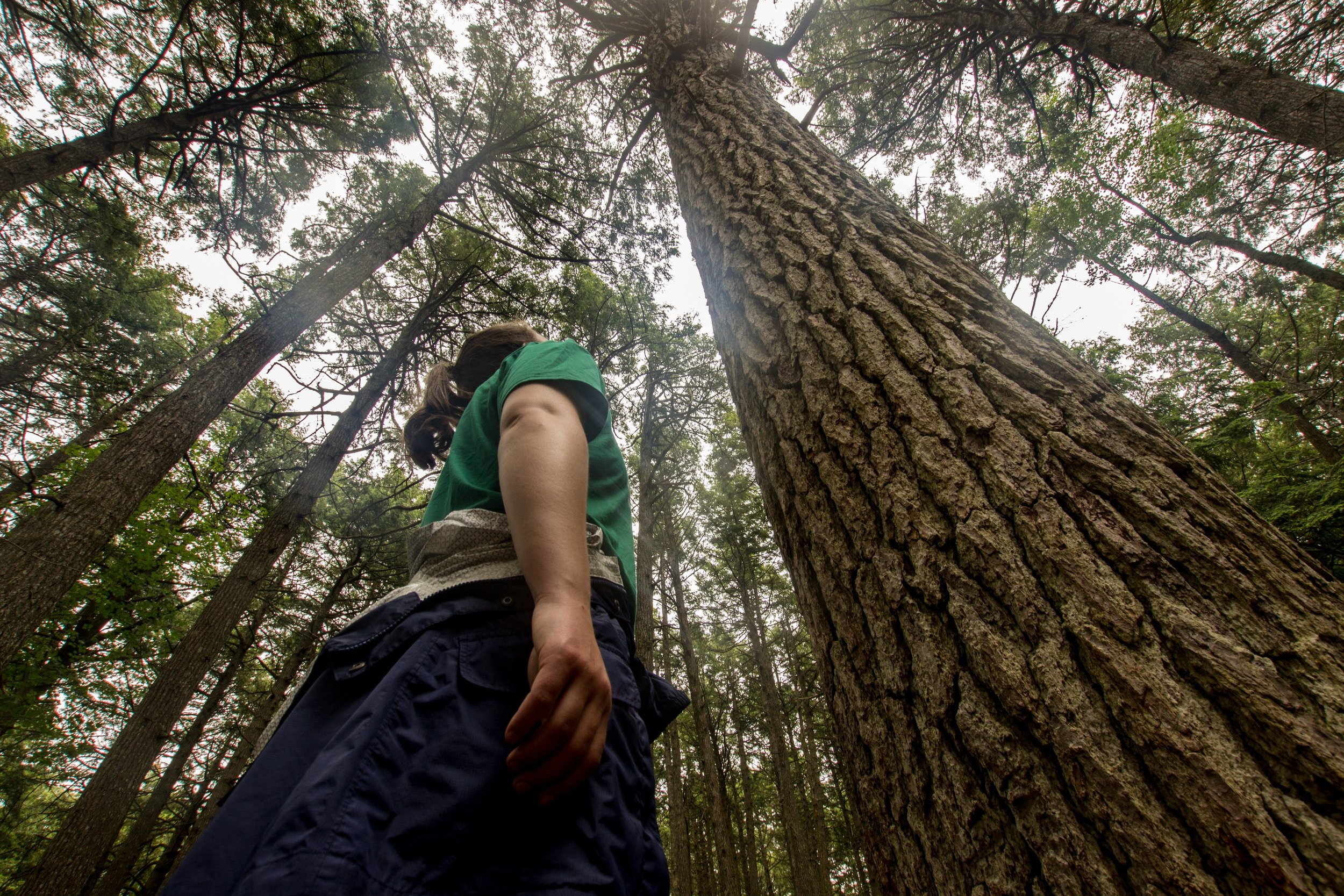 Looking up at a hemlock mother tree