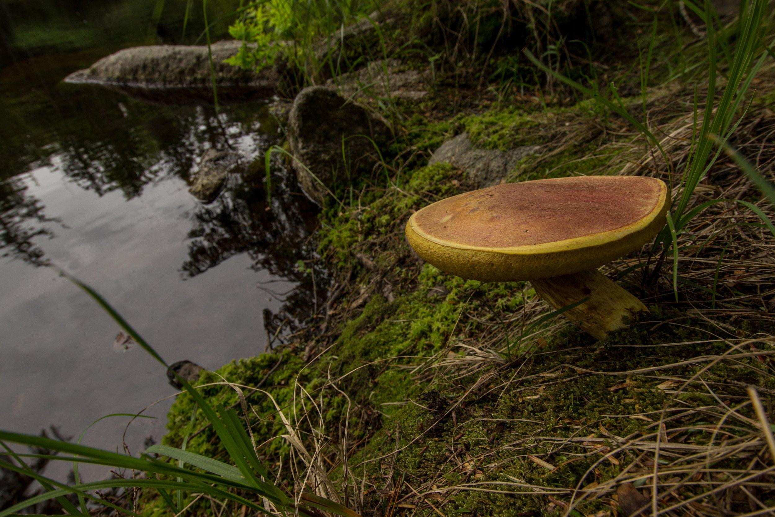 mushroom (1).jpg