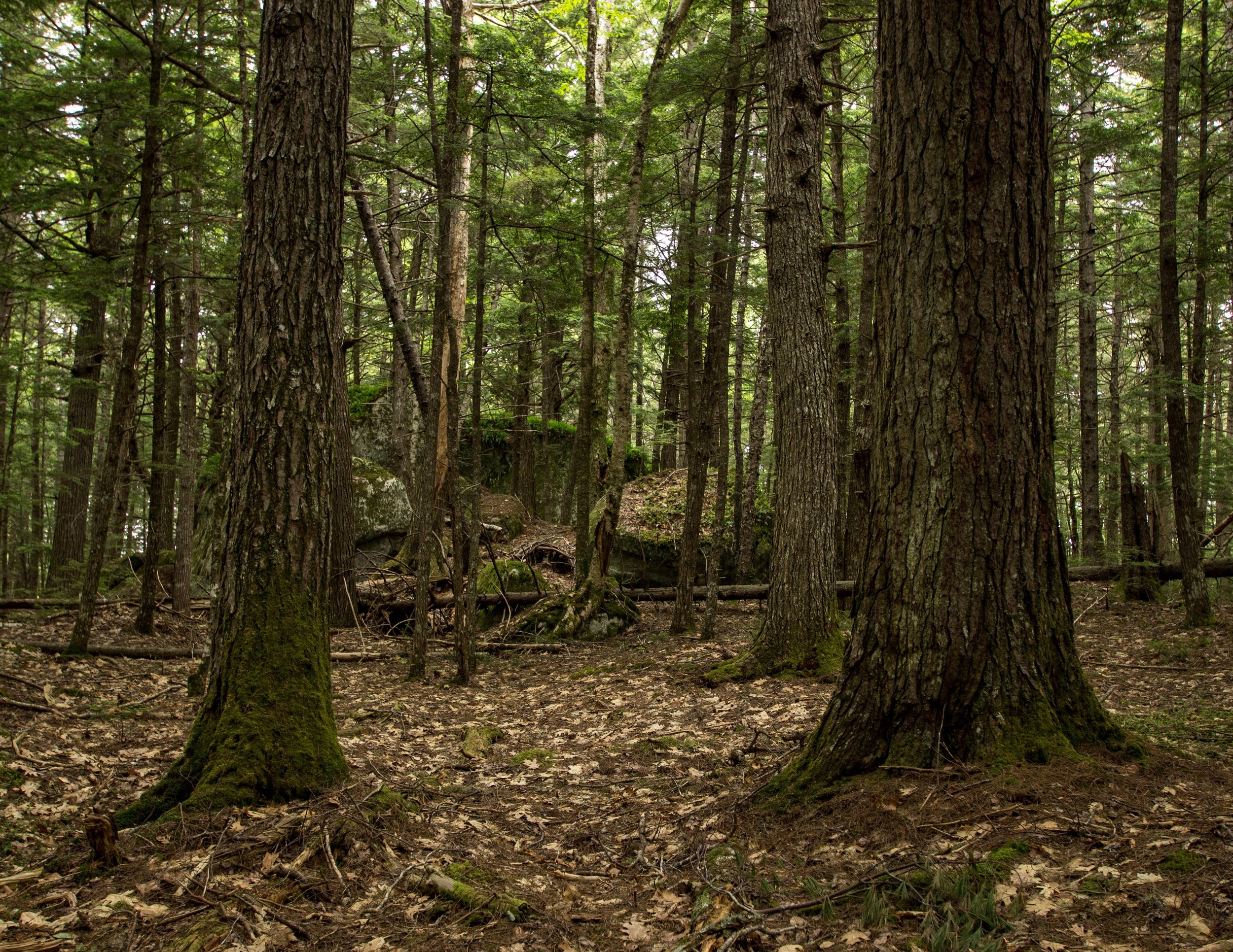 An older stand in the Four Mile Stillwater area of the Medway Lakes Wilderness Area