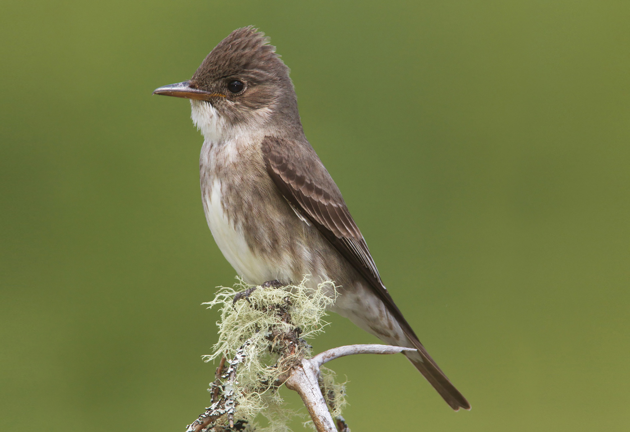 The Olive-sided Flycatcher is a threatened aerial insectivore that is known to nest in the MCFC license area.
