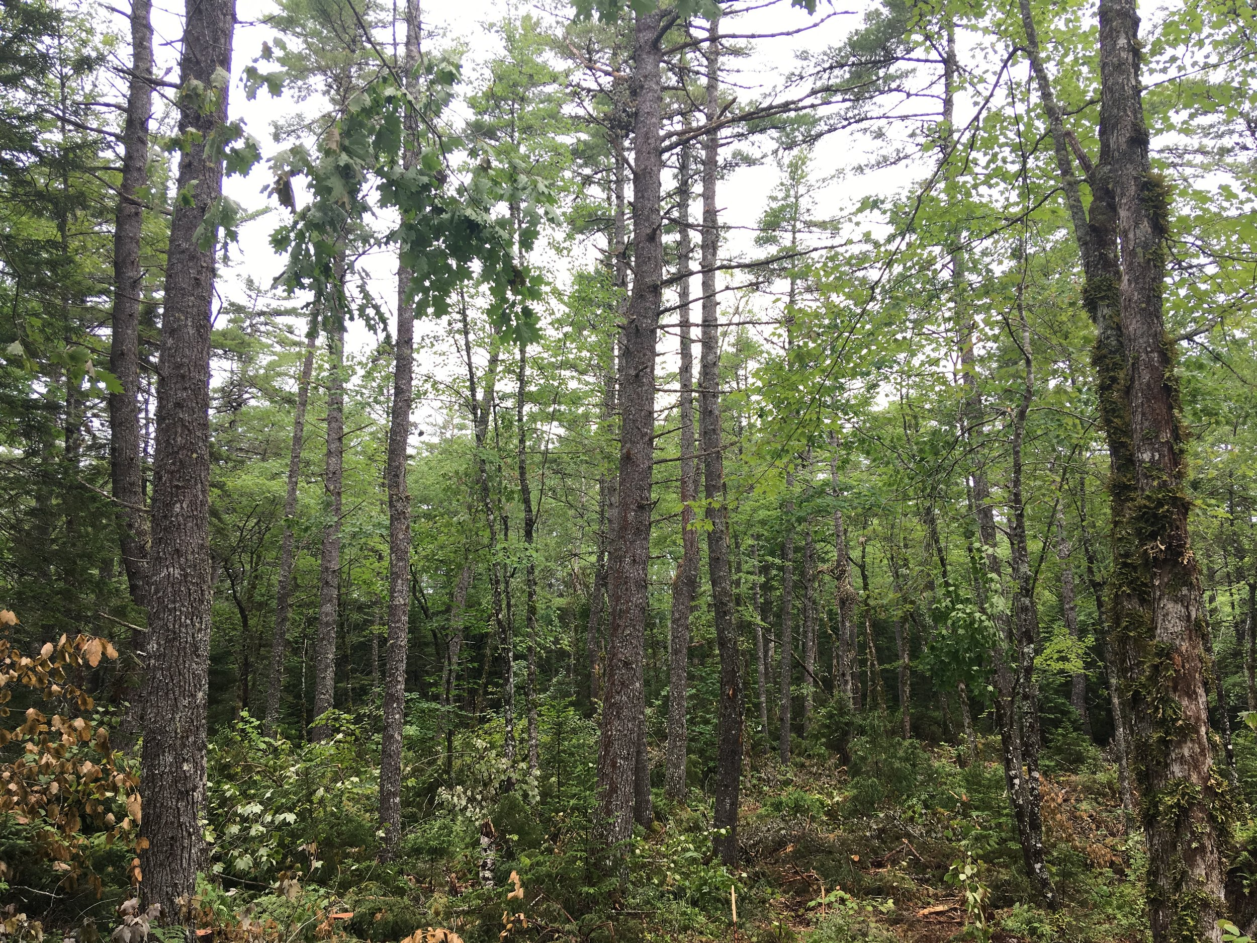 A recently completed white pine/red oak shelterwood harvest in the Oak Lake region of the MCFC license area.