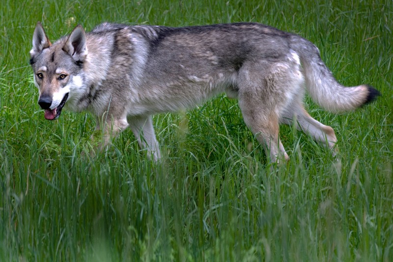 Walking With Wolves, Predatory Experience