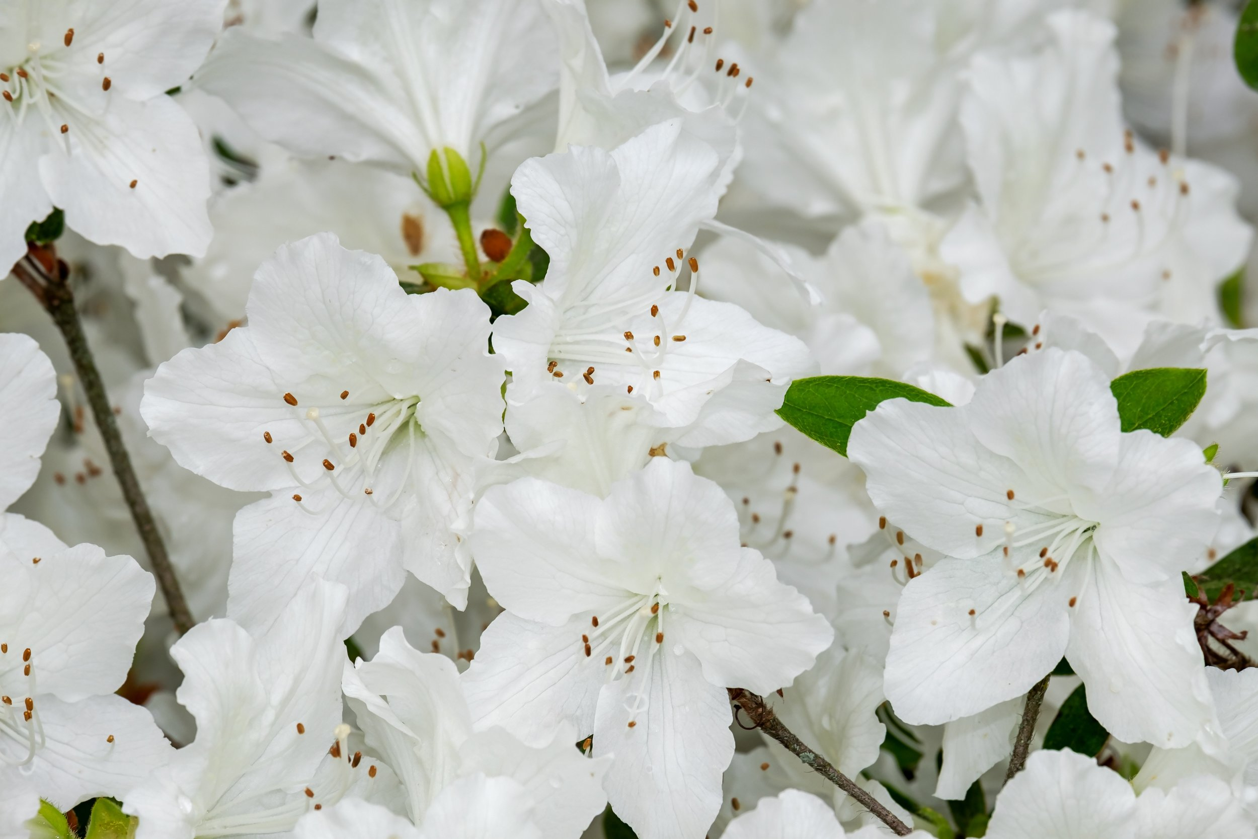 azalea-3387734.jpg