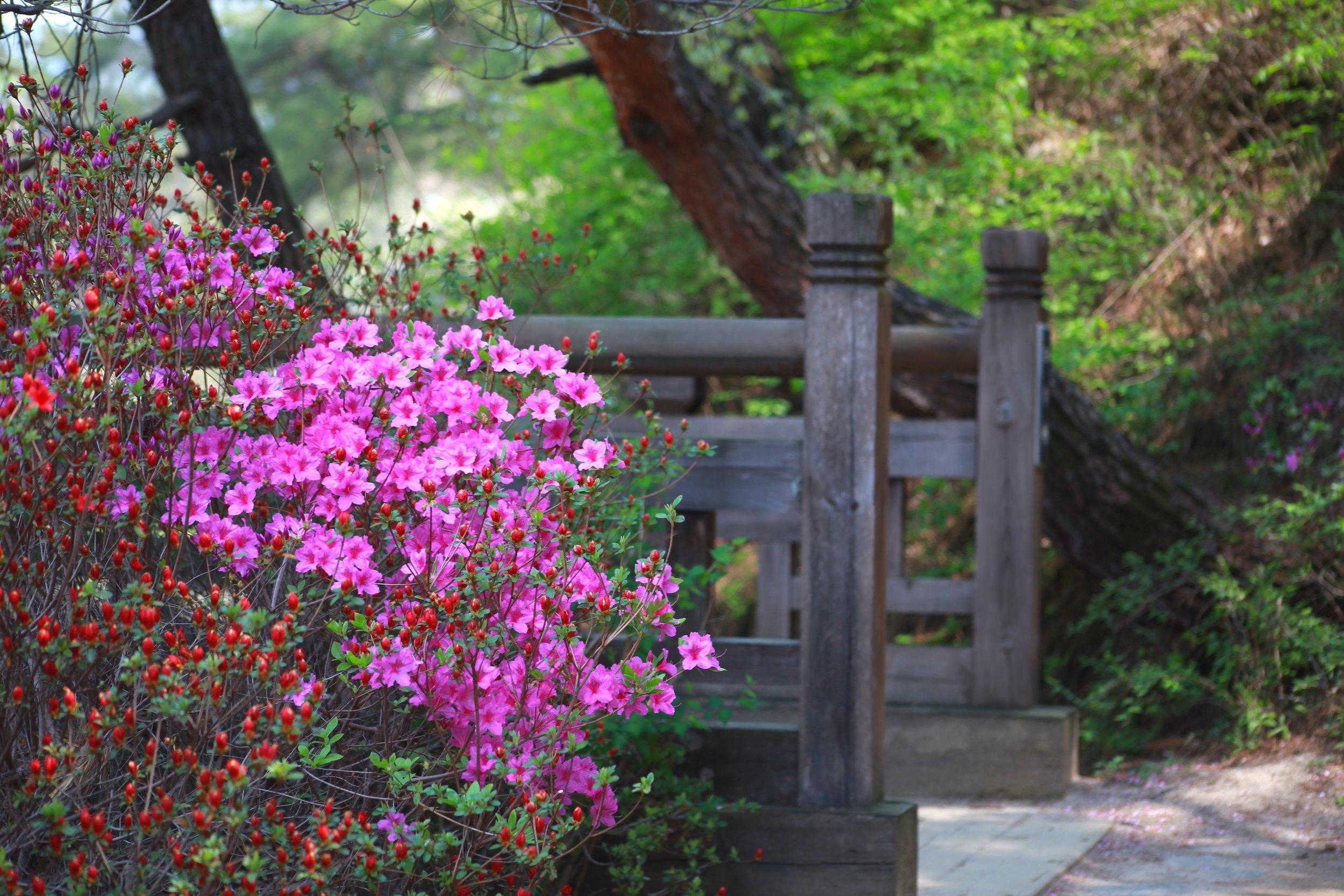 azalea-nature-3291411.jpg