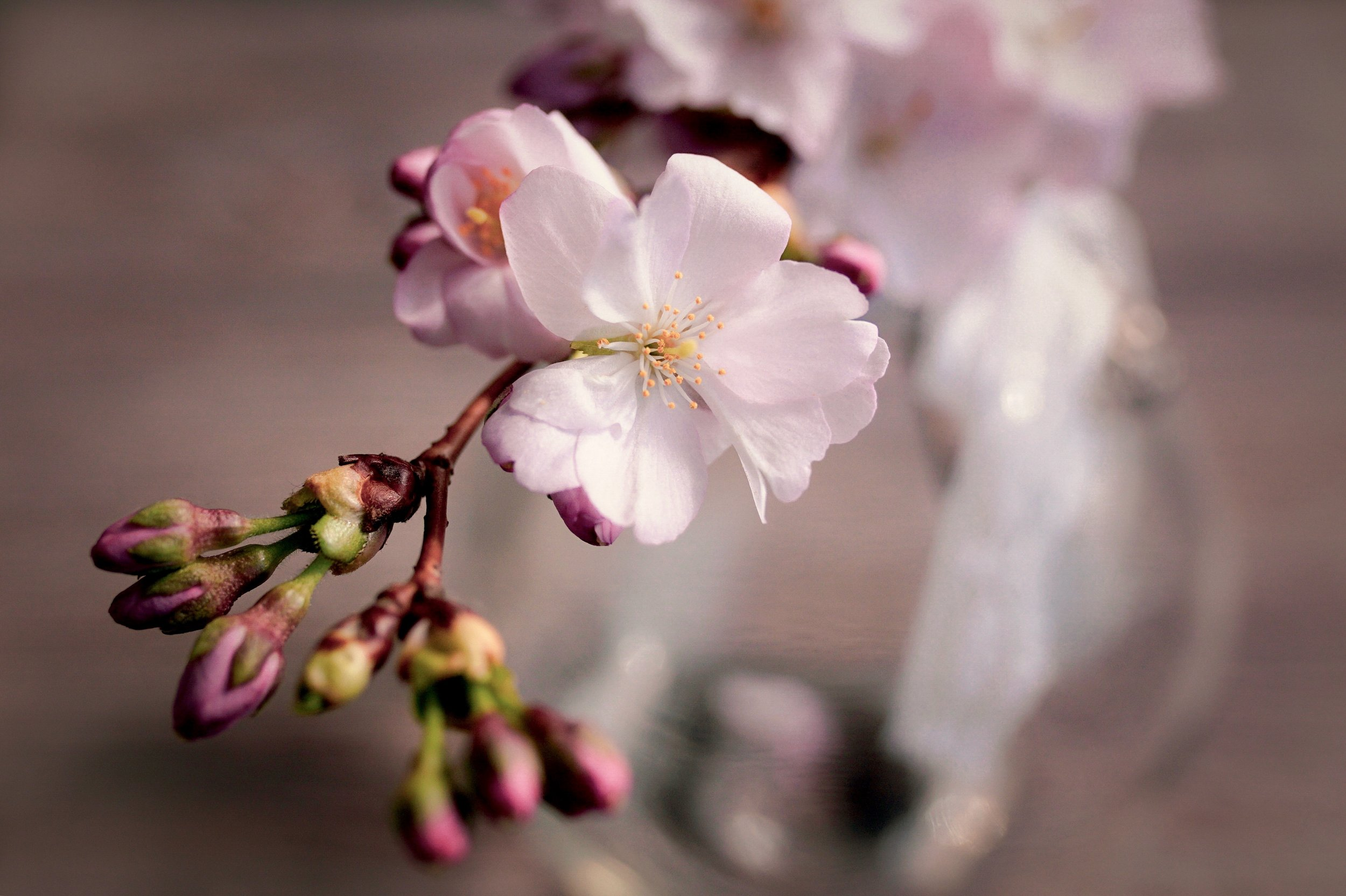 cherry-blossoms-4066631.jpg