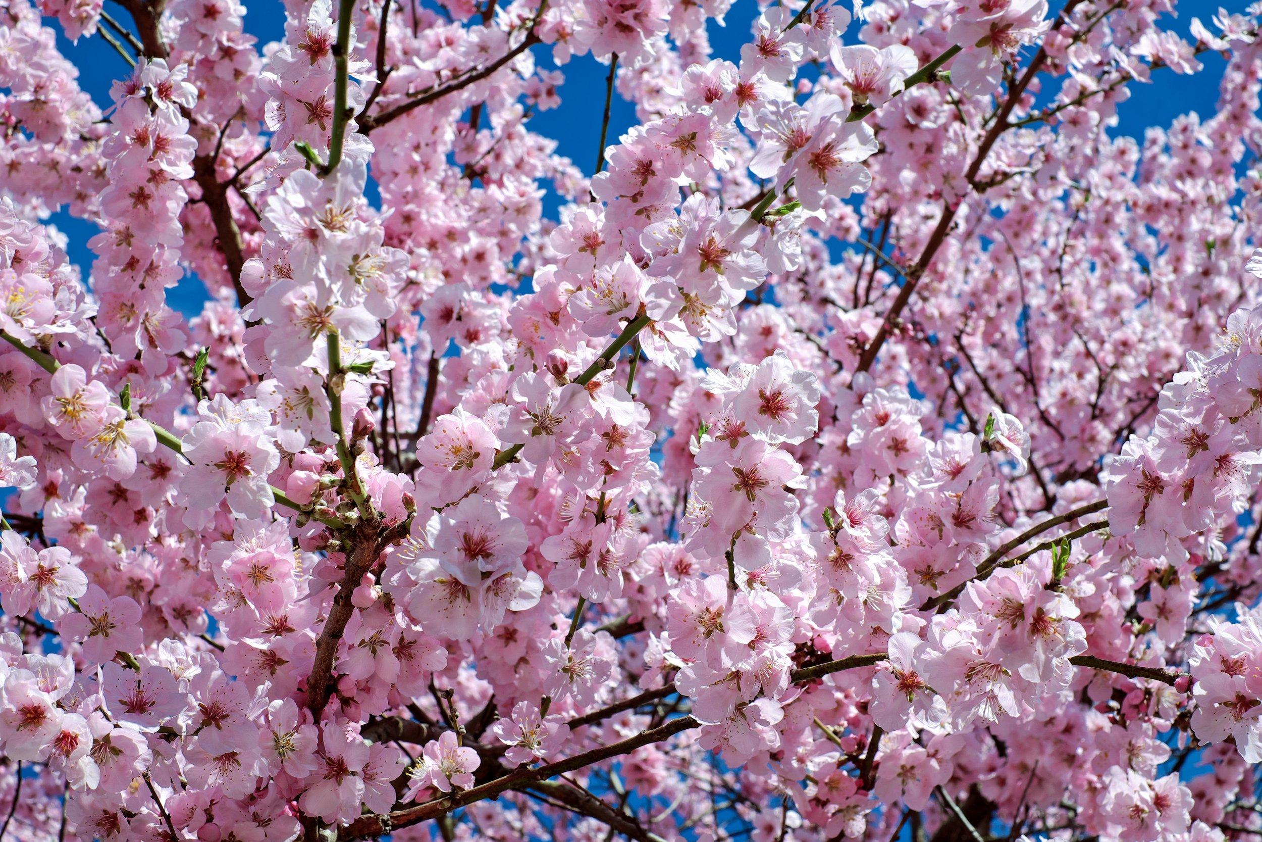japanese-cherry-trees-2168858.jpg