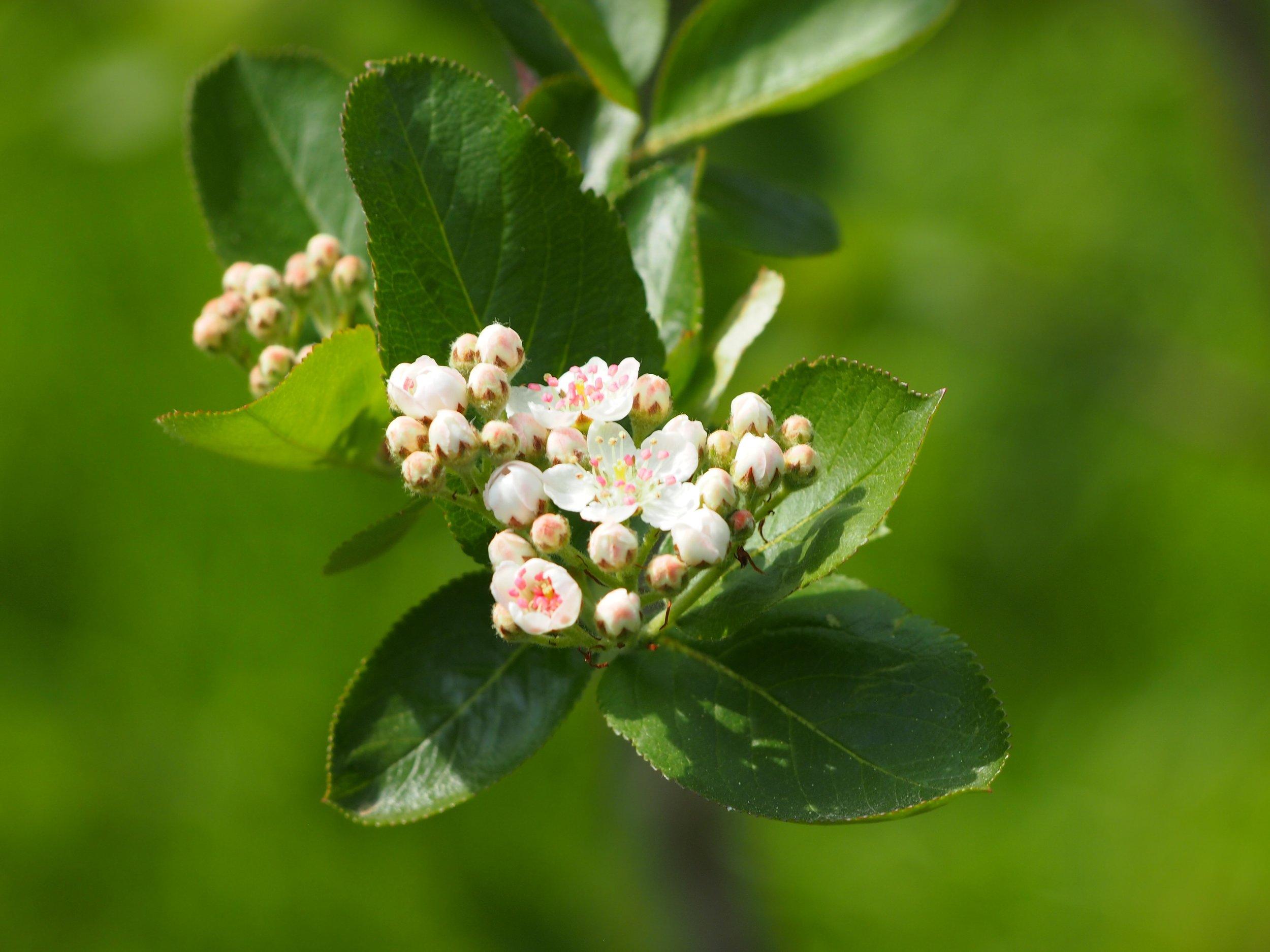 chokeberry-blossom-1478147.jpg