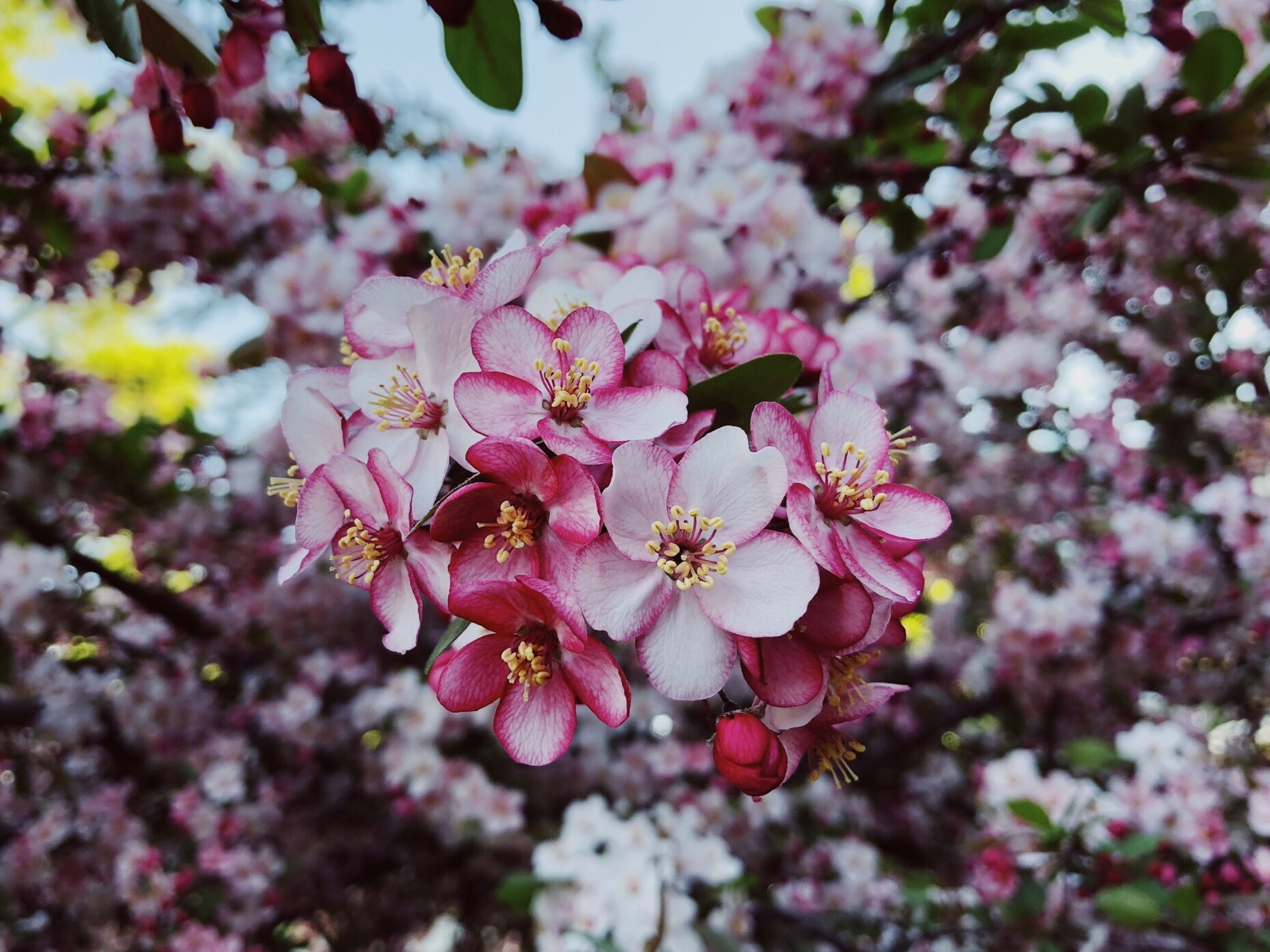 crabapple-spring-3404953.jpg