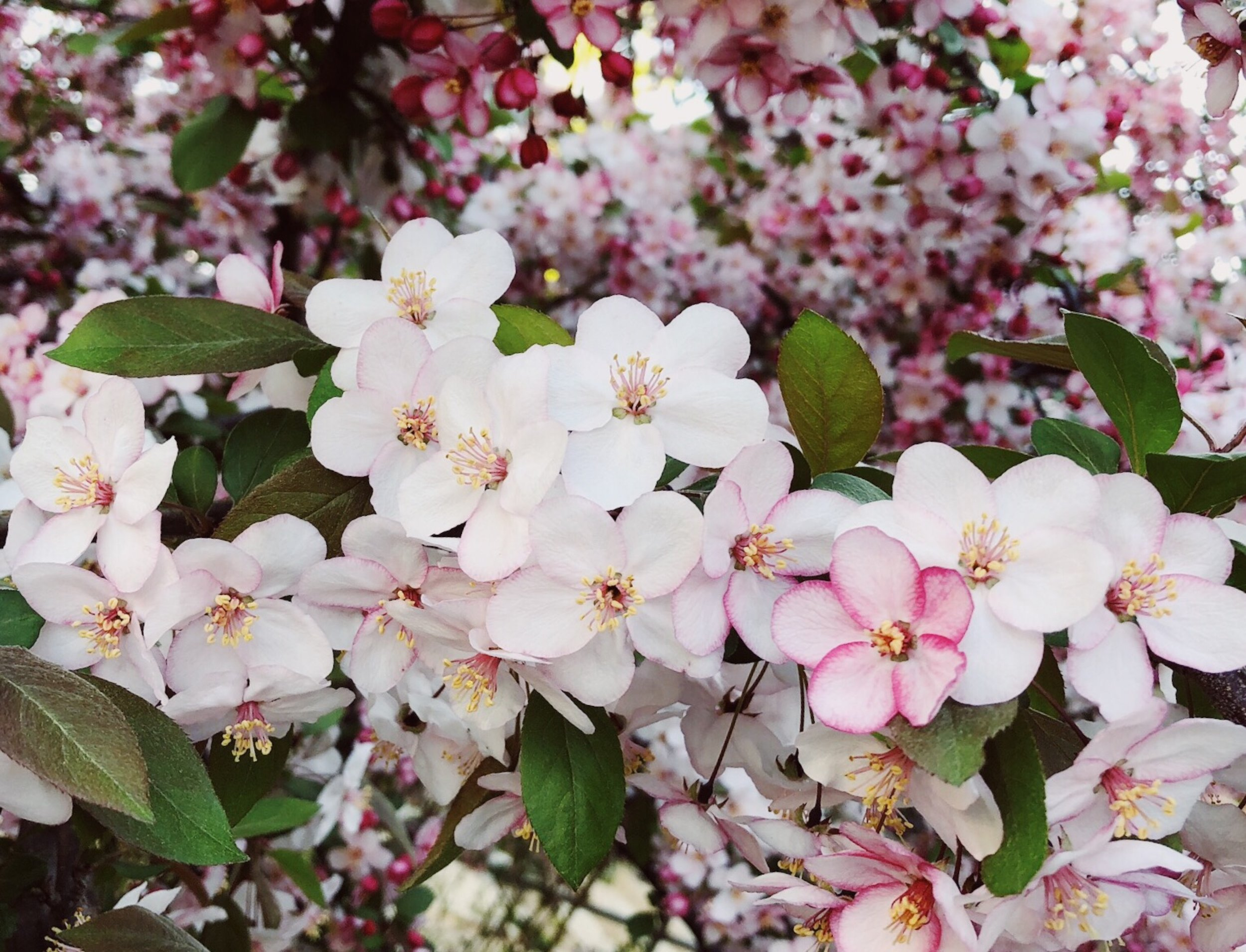 crabaple-spring-3404951.jpg
