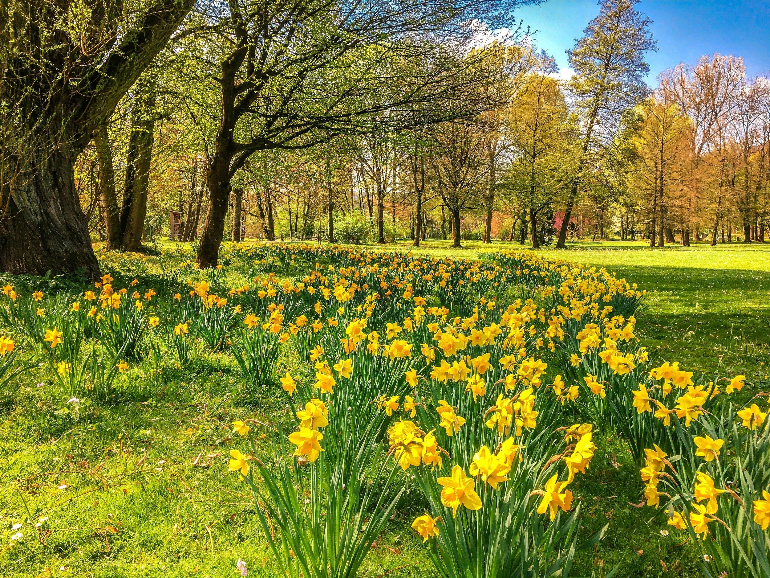 daffodils-2231083.jpg