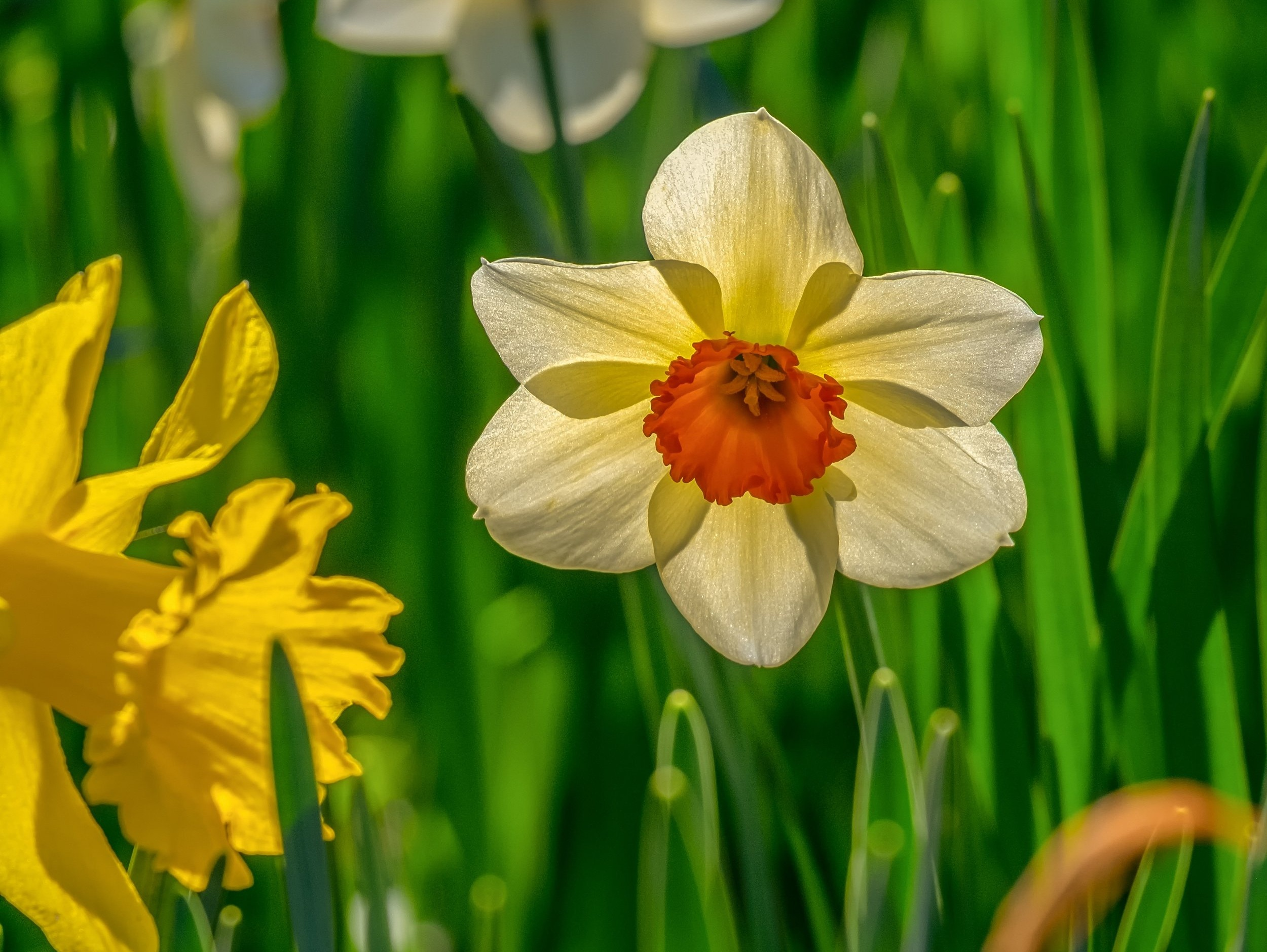 daffodil-4076073.jpg