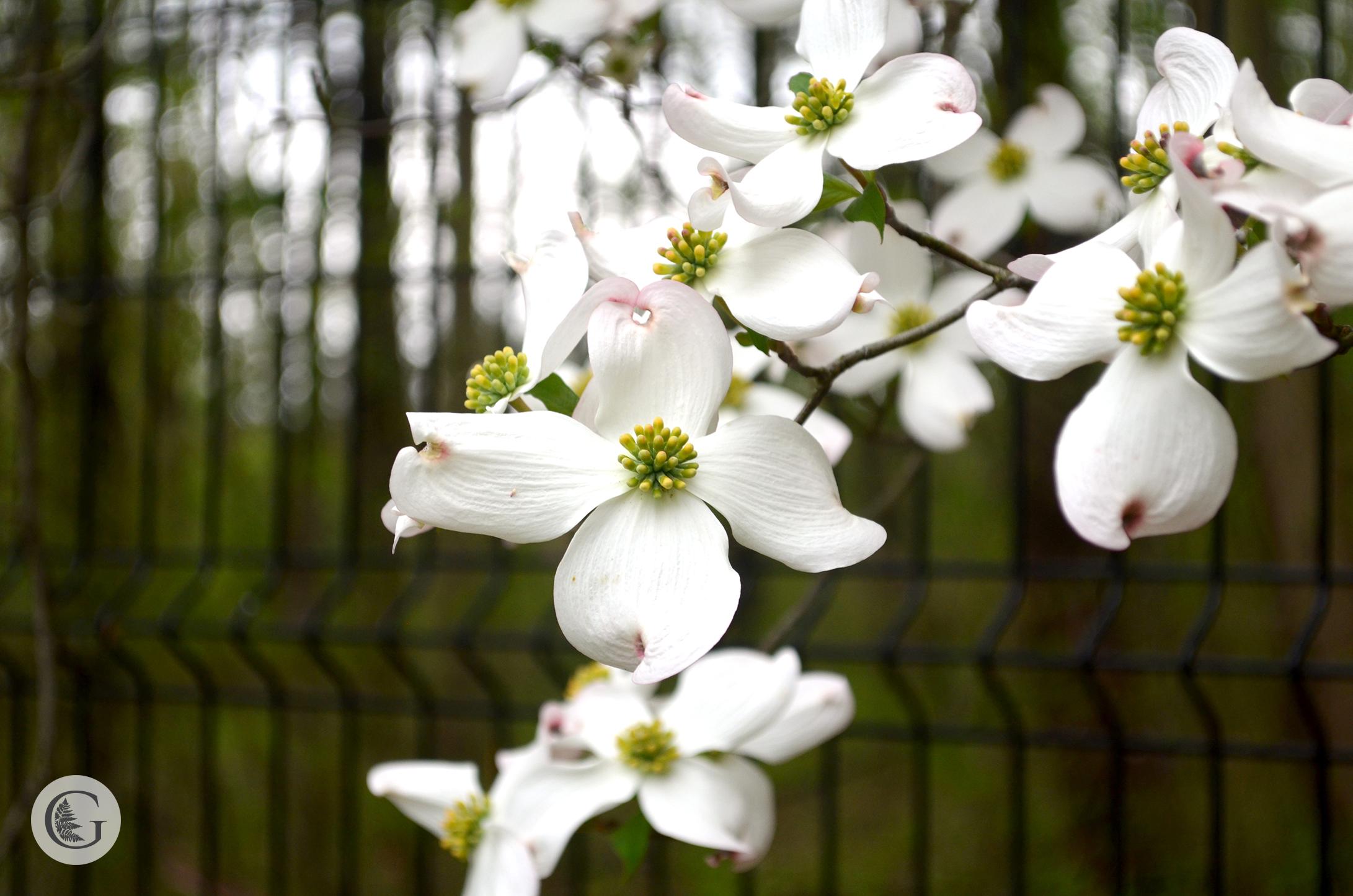 Dogwood-flower-3.jpg