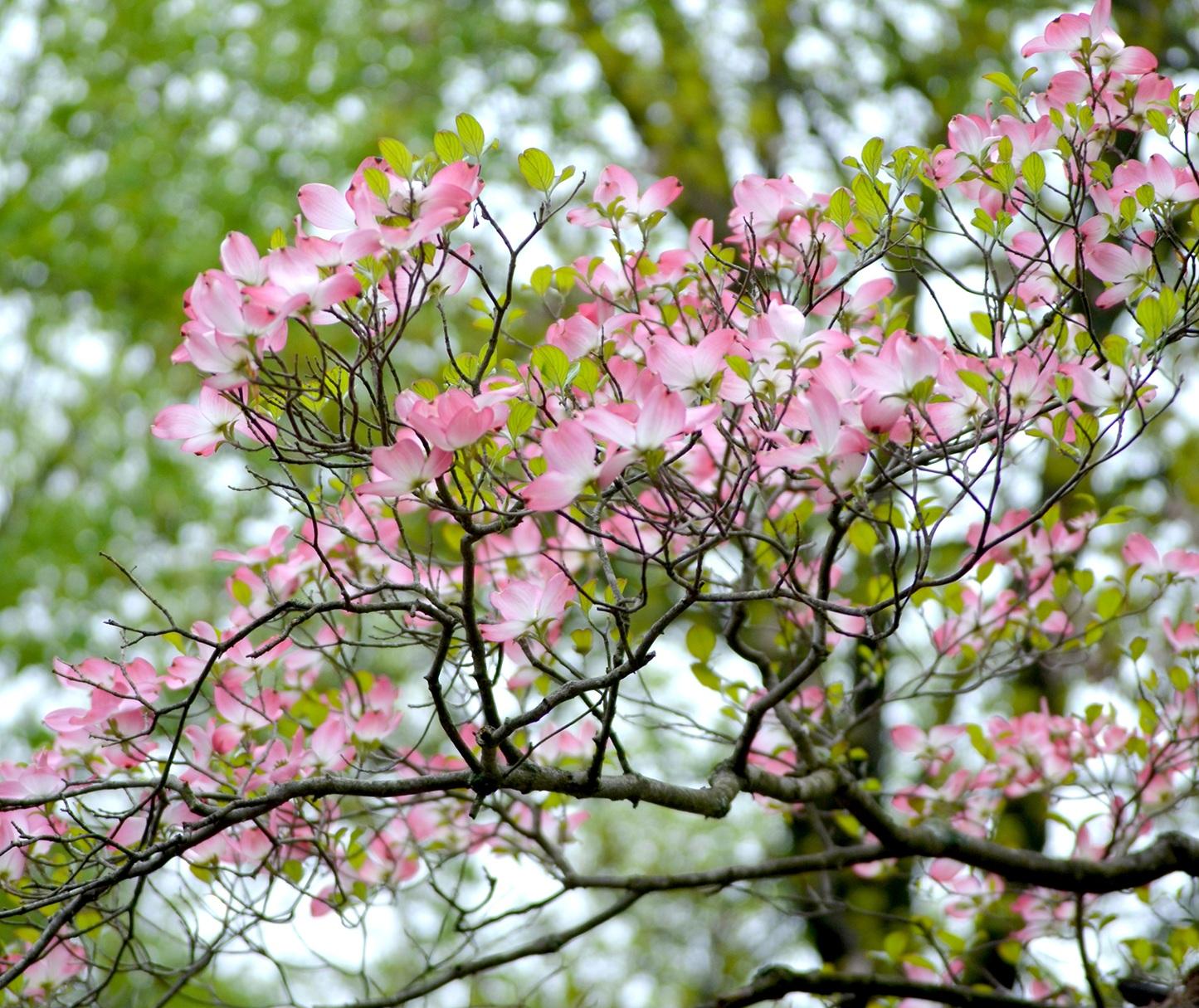 Dogwood-tree-2.jpg
