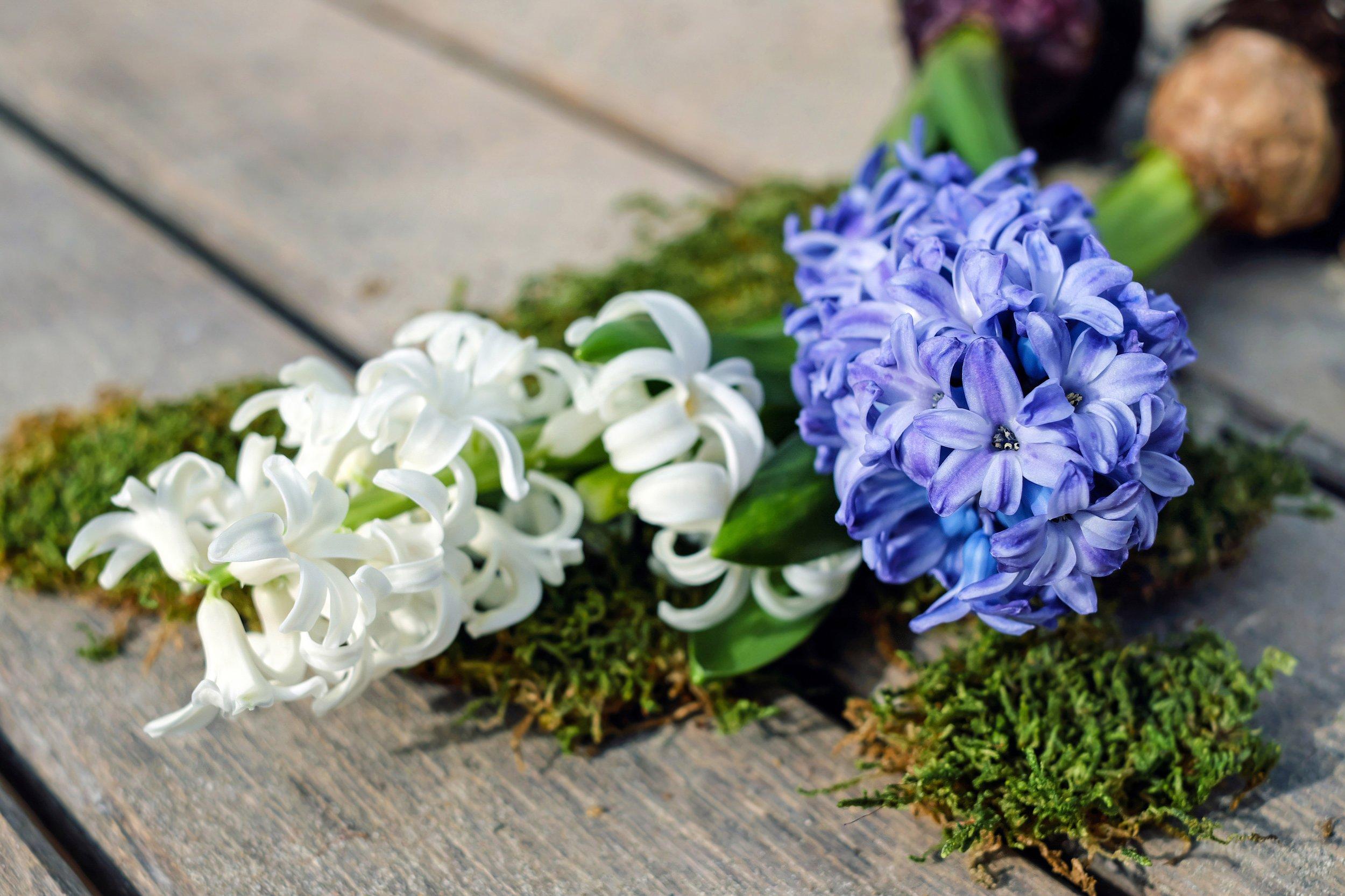 hyacinth-2119049.jpg
