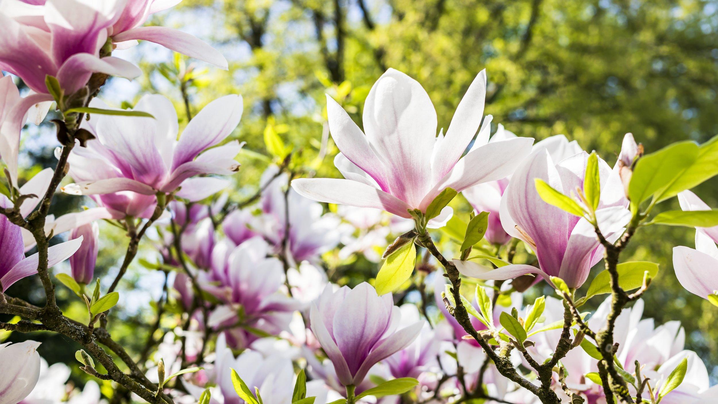 magnolia-flower-3339266.jpg