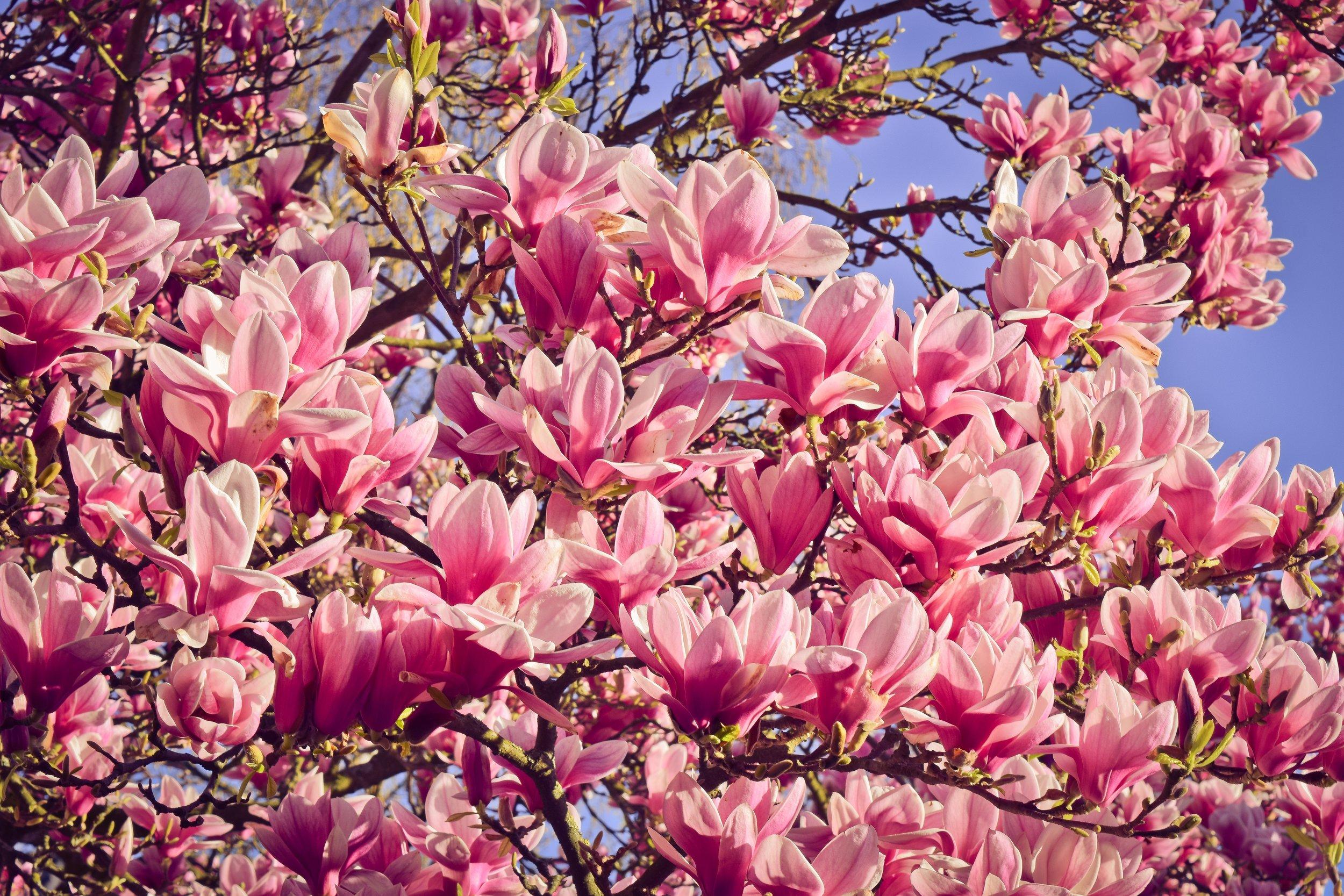 magnolia-nature-4082931.jpg