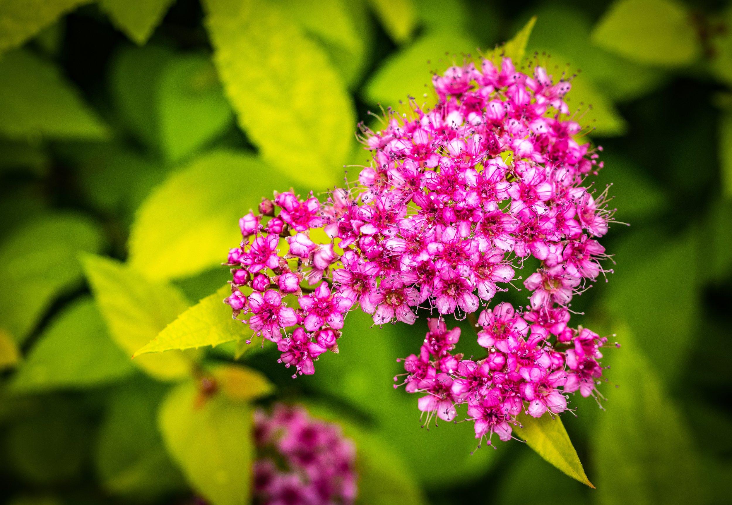 spiraea-japonica-3461317.jpg