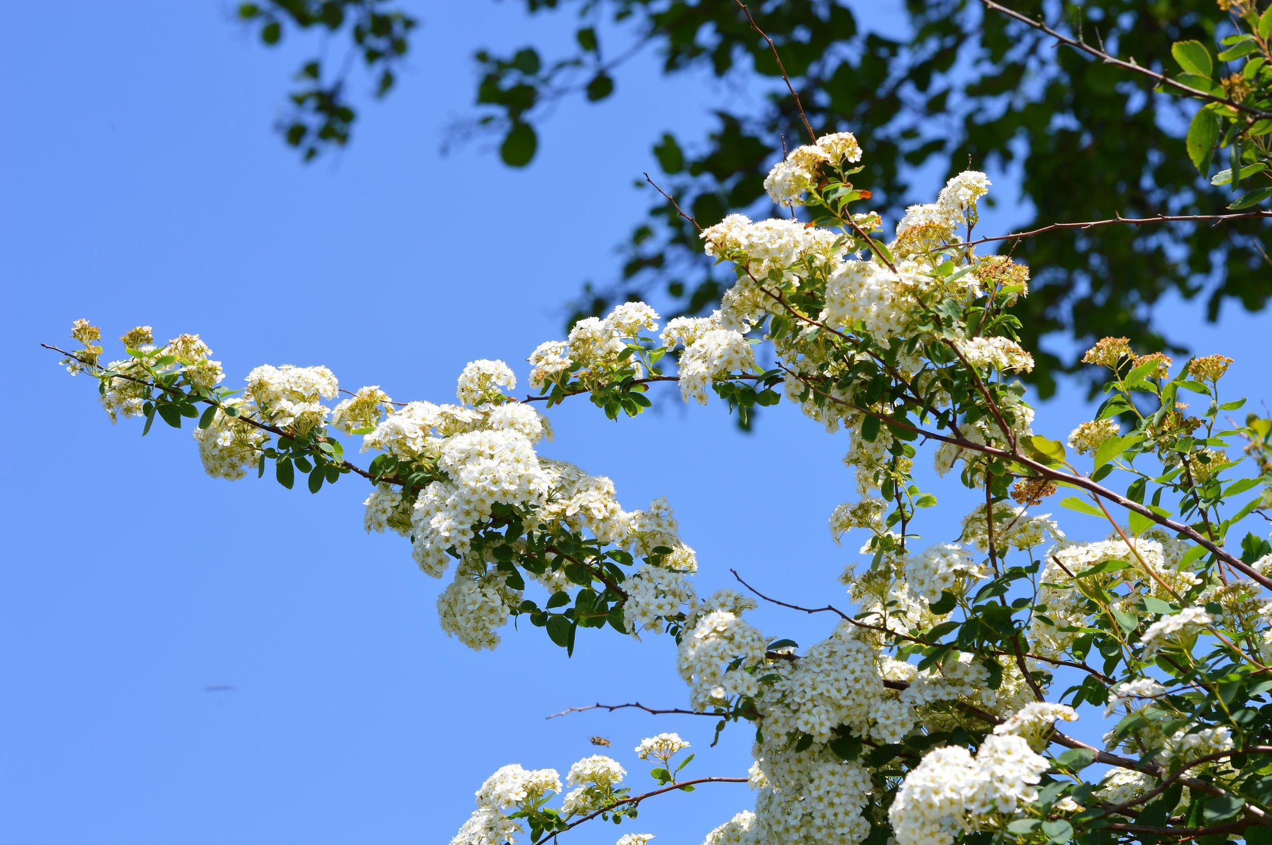spirea-flower-3418358.jpg