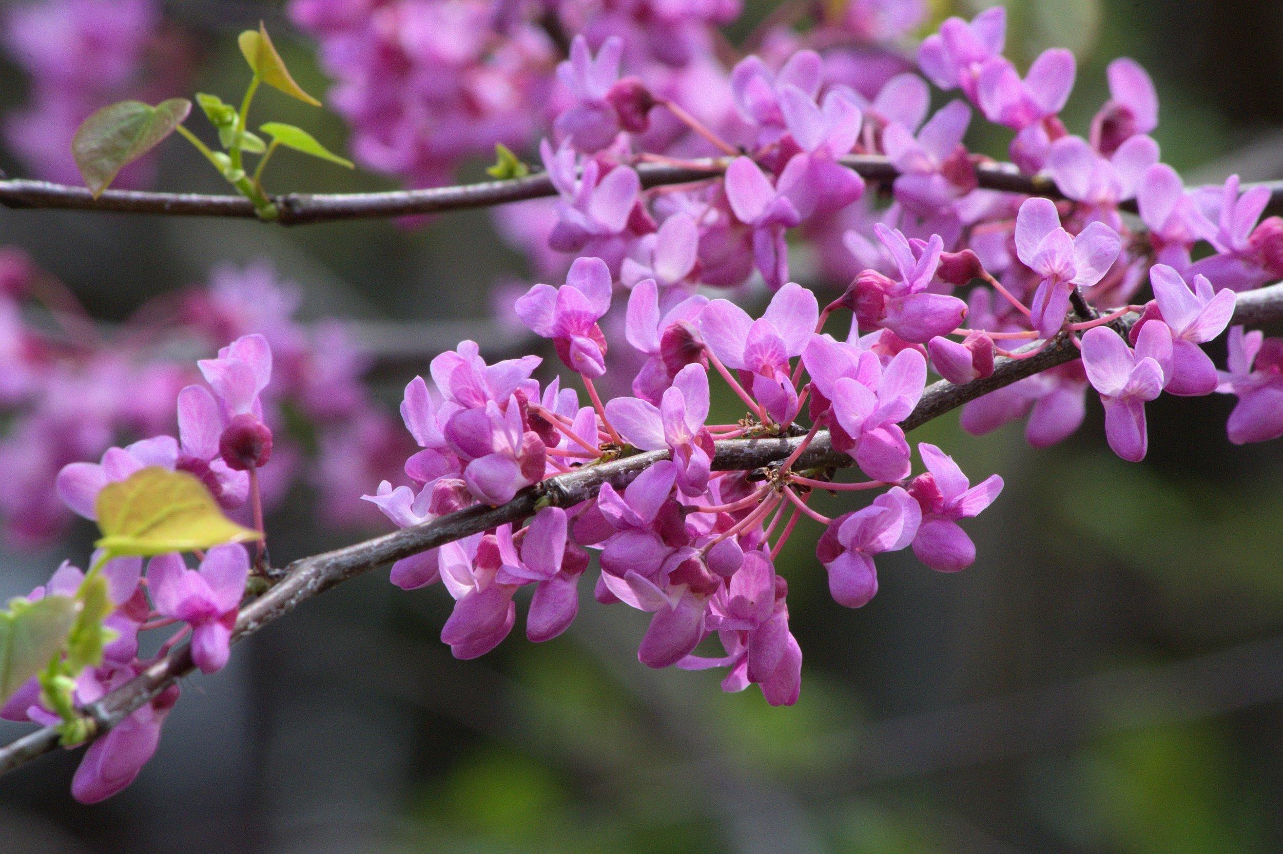 arkansas-redbud-blossoms-3588715.jpg