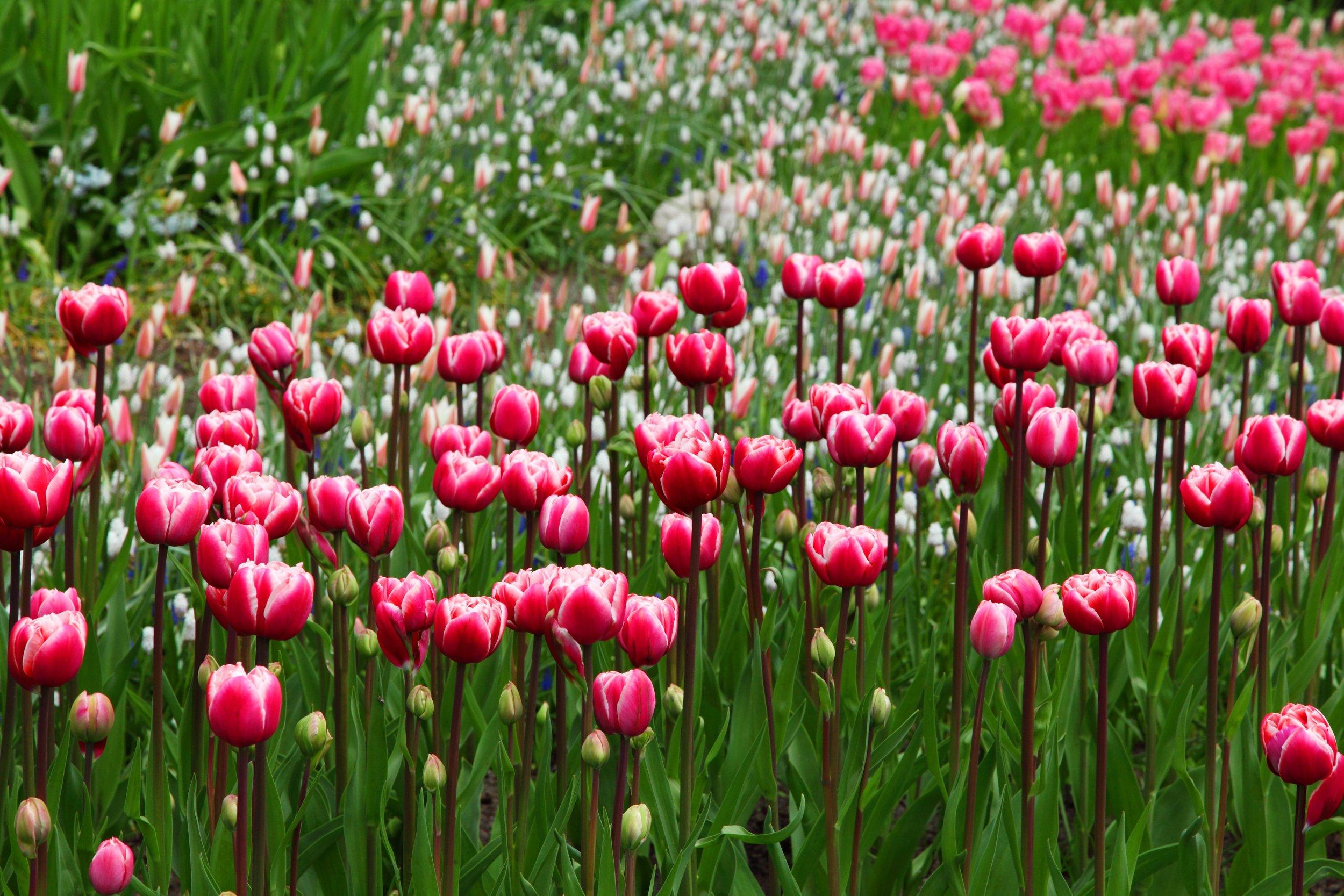 tulips-beautiful-2703.jpg