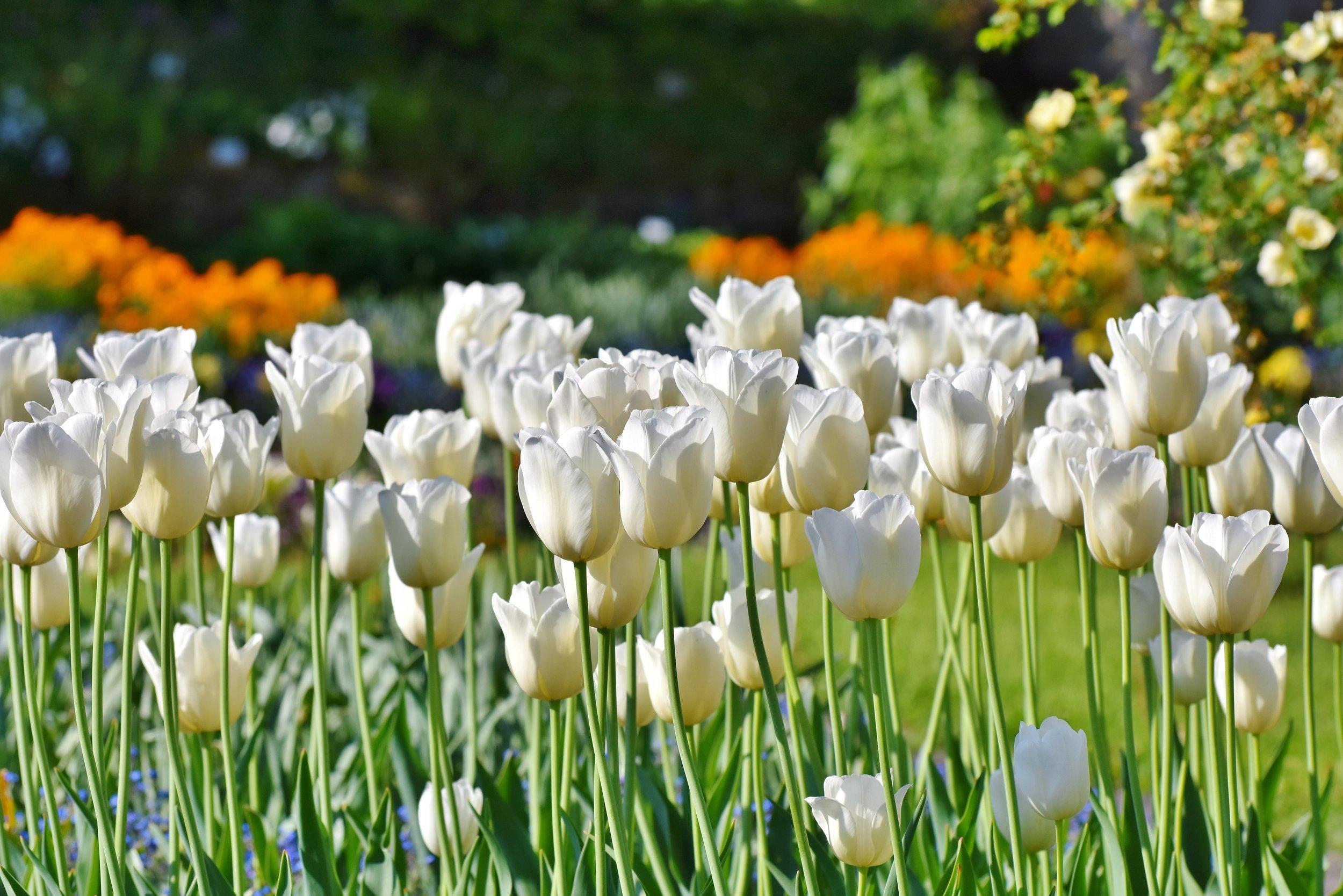 tulips-3406530.jpg