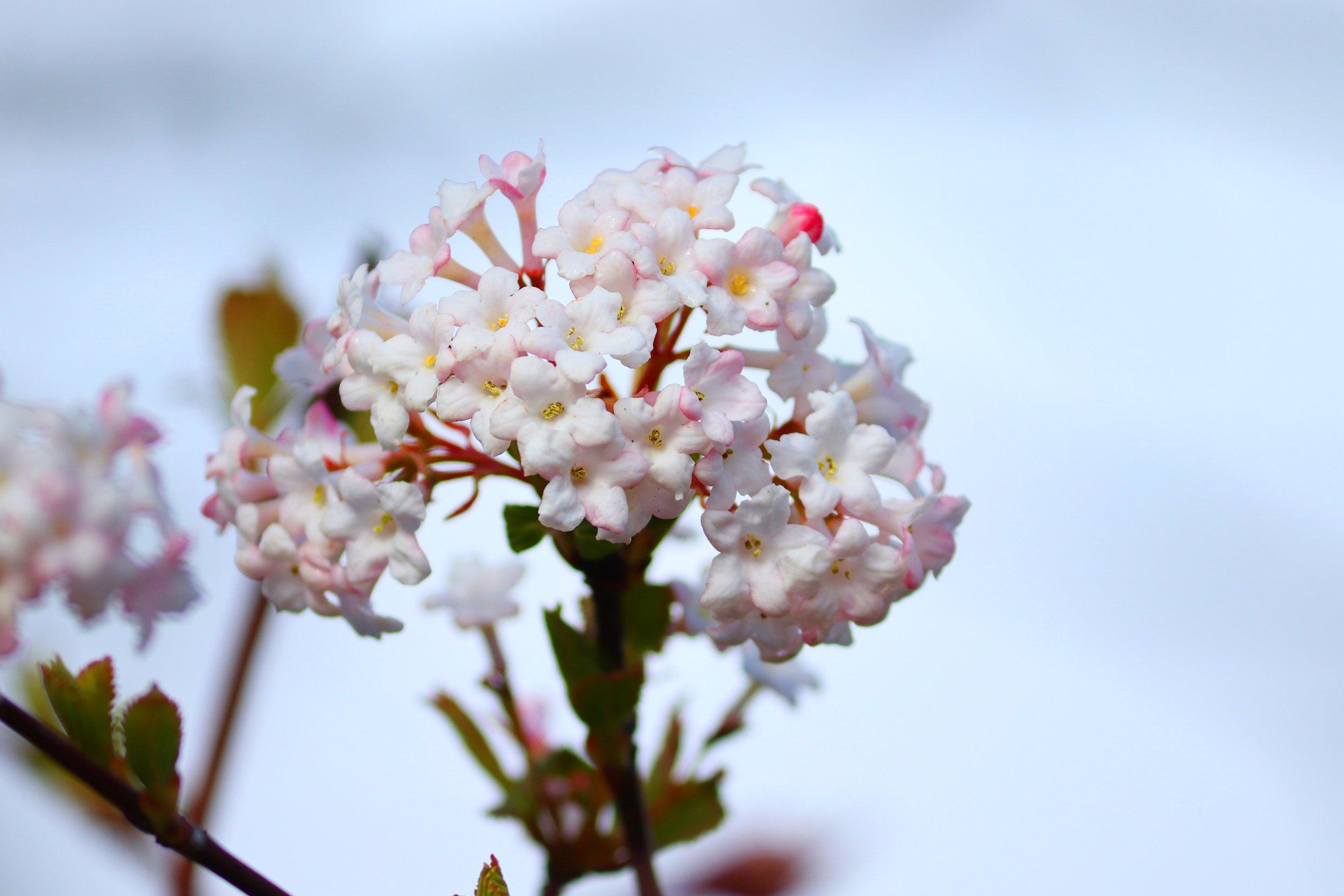 viburnum-flowers-4049280.jpg