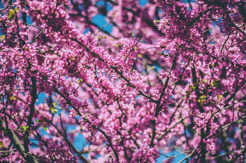 Flowering-Tree-Natures-Pages.jpg