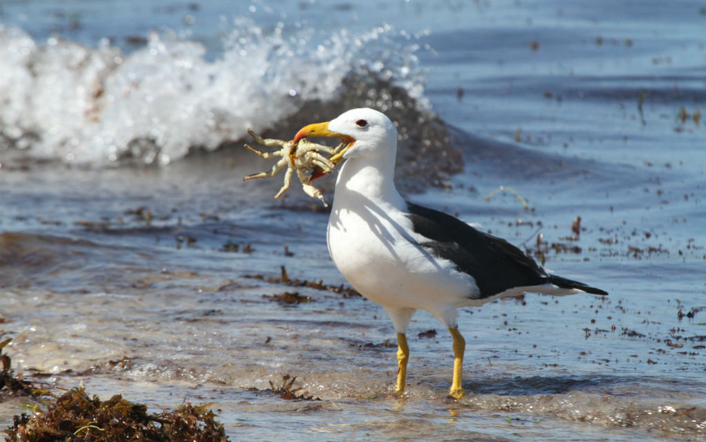 Albatross-with-Crab-Natures-Pages.jpg
