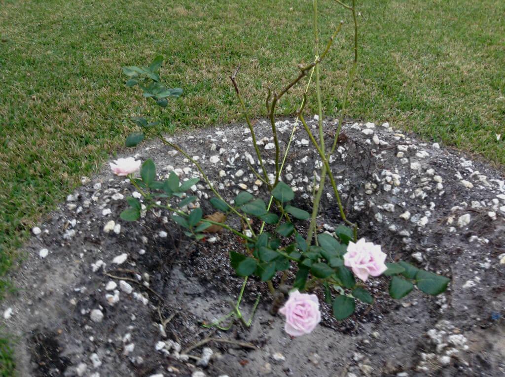 Lilac Rose Bush