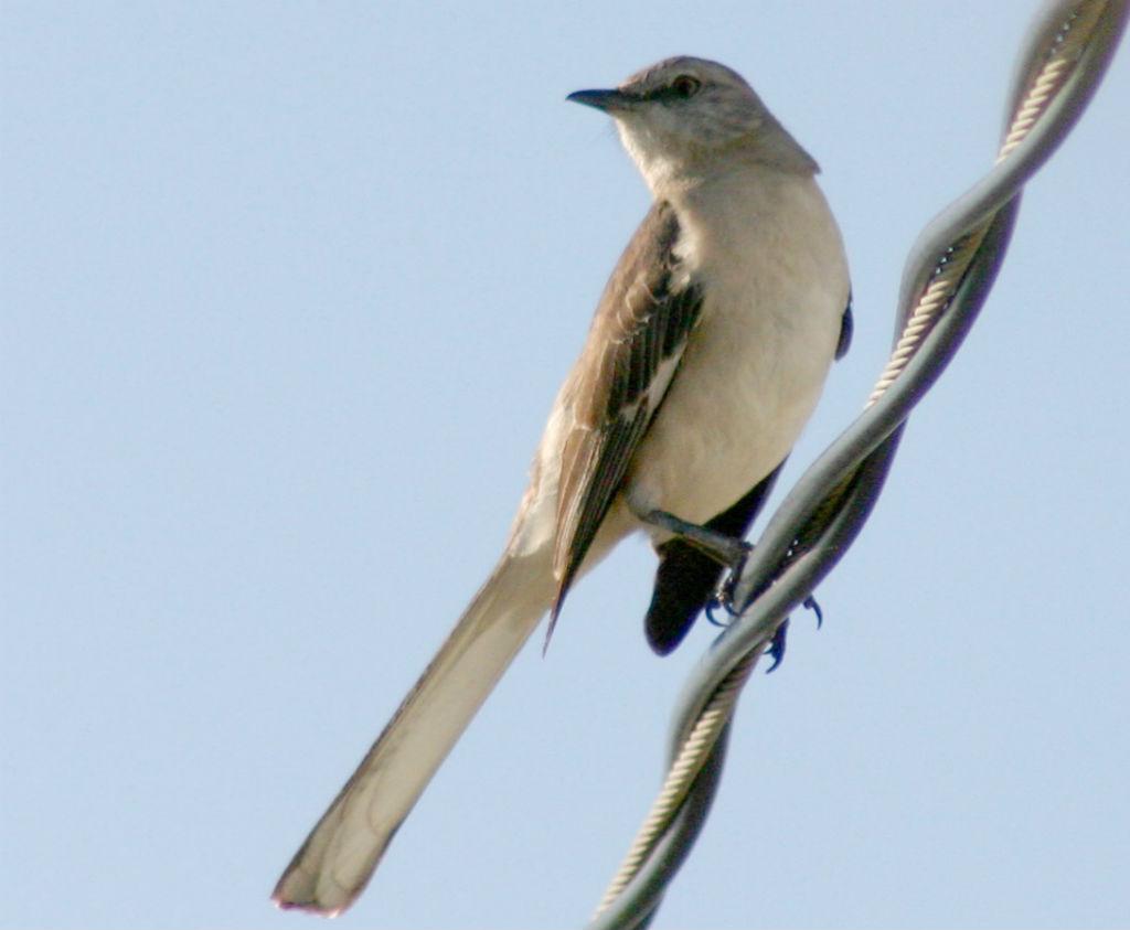 Mocking-Bird-Natures-Pages.jpg