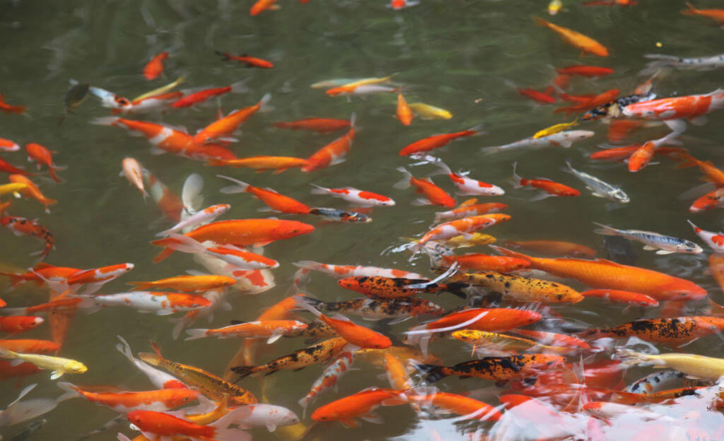 Koi-Pond-Natures-Pages.jpg