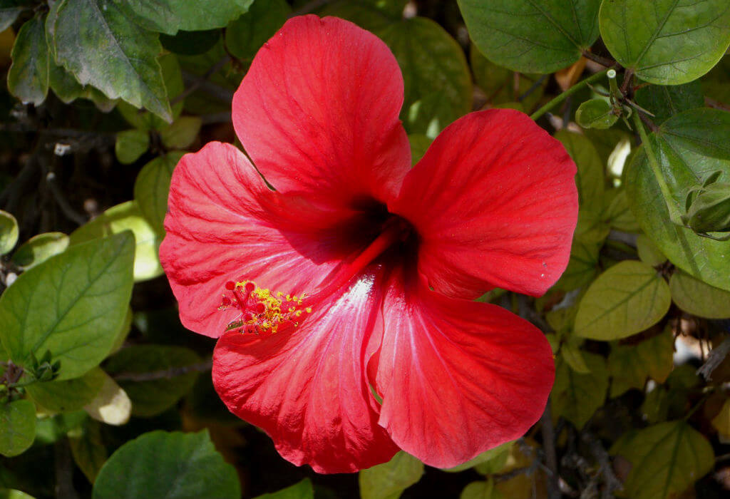 Hibiscus-Natures-Pages.jpg
