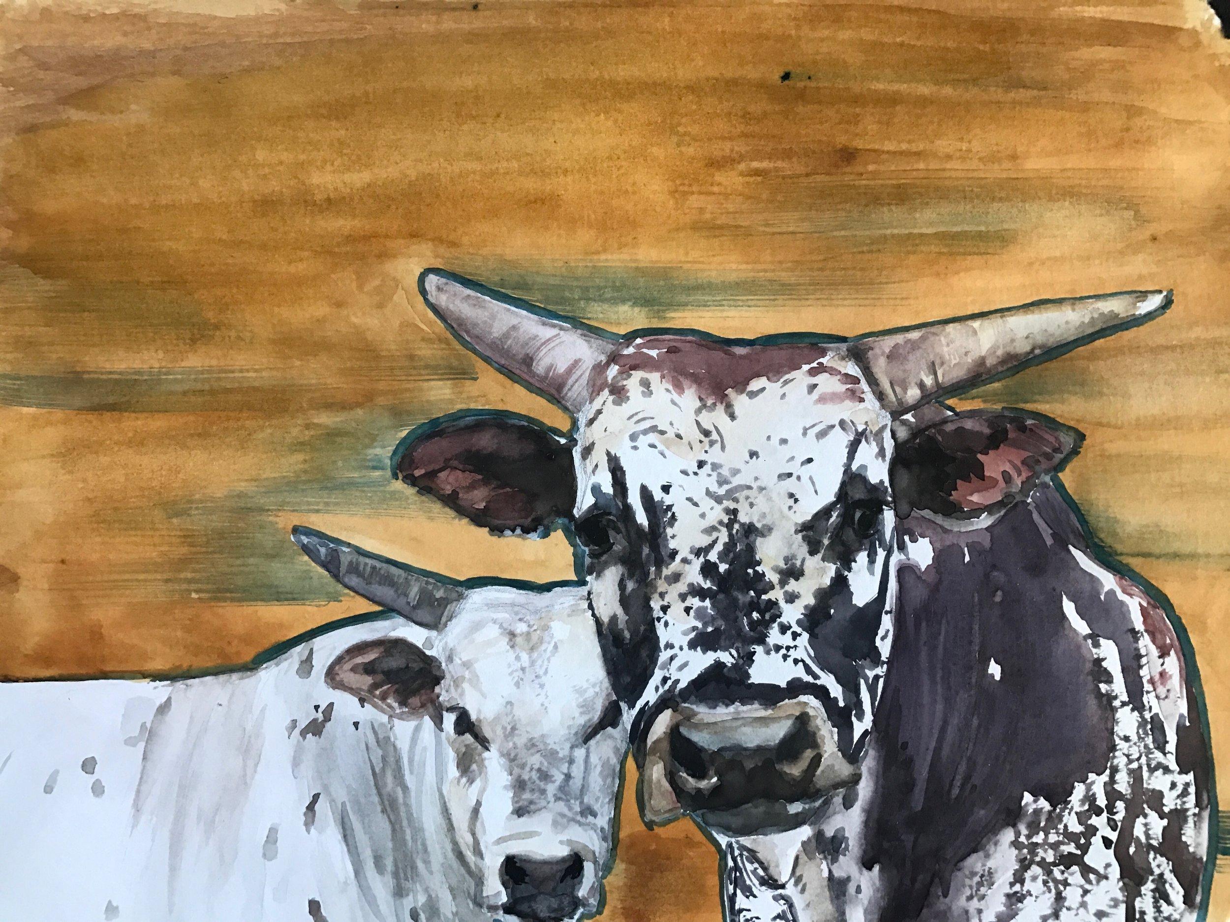 Steers on Orange
