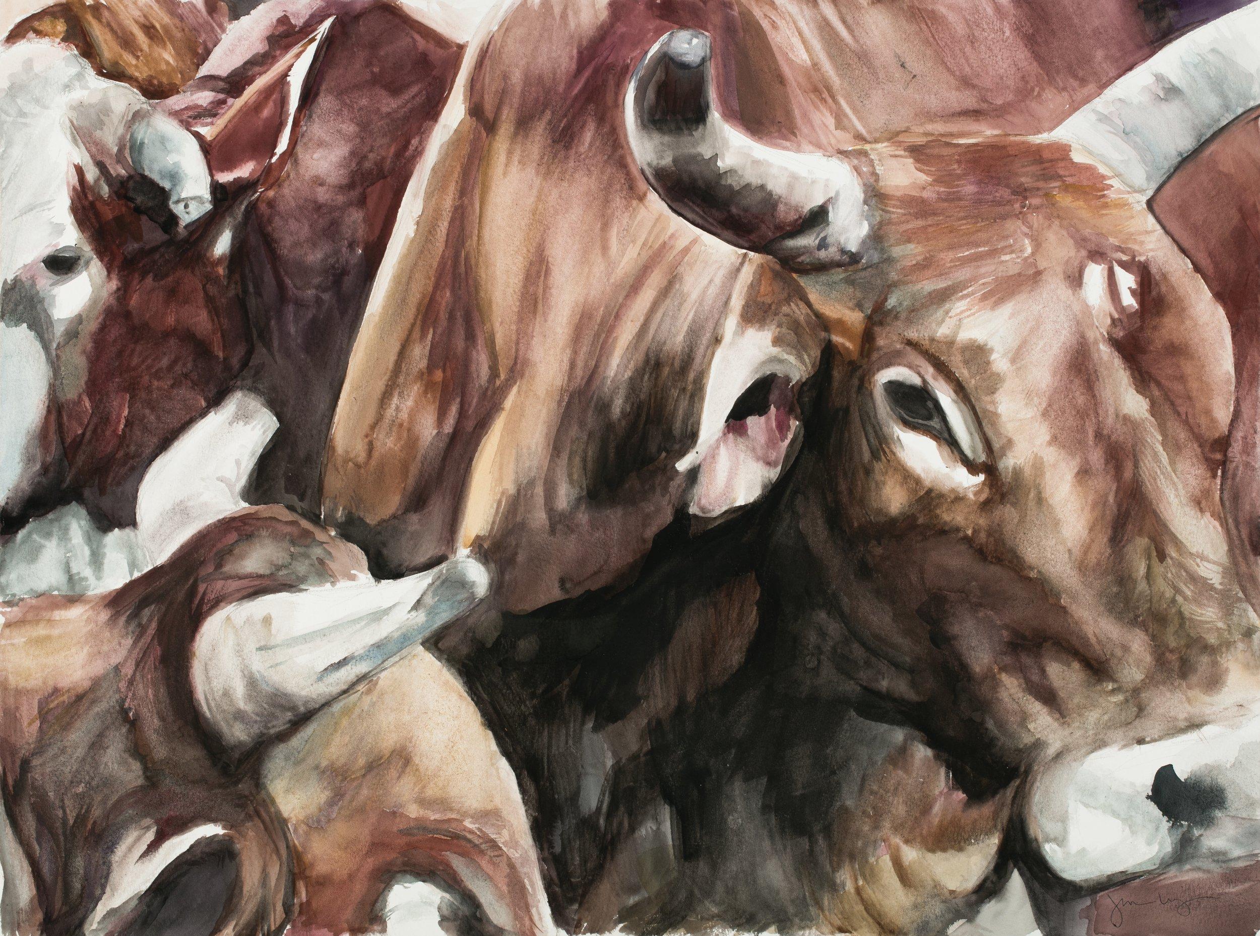 Brahman Steers