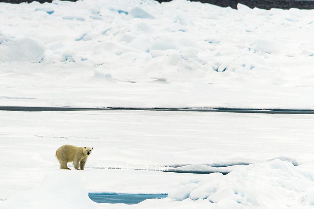 rachel lee fletcher knoxville tn polar bear and ice