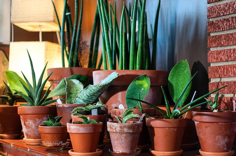Rachel Fletcher has a serious love for Sansevieria plants