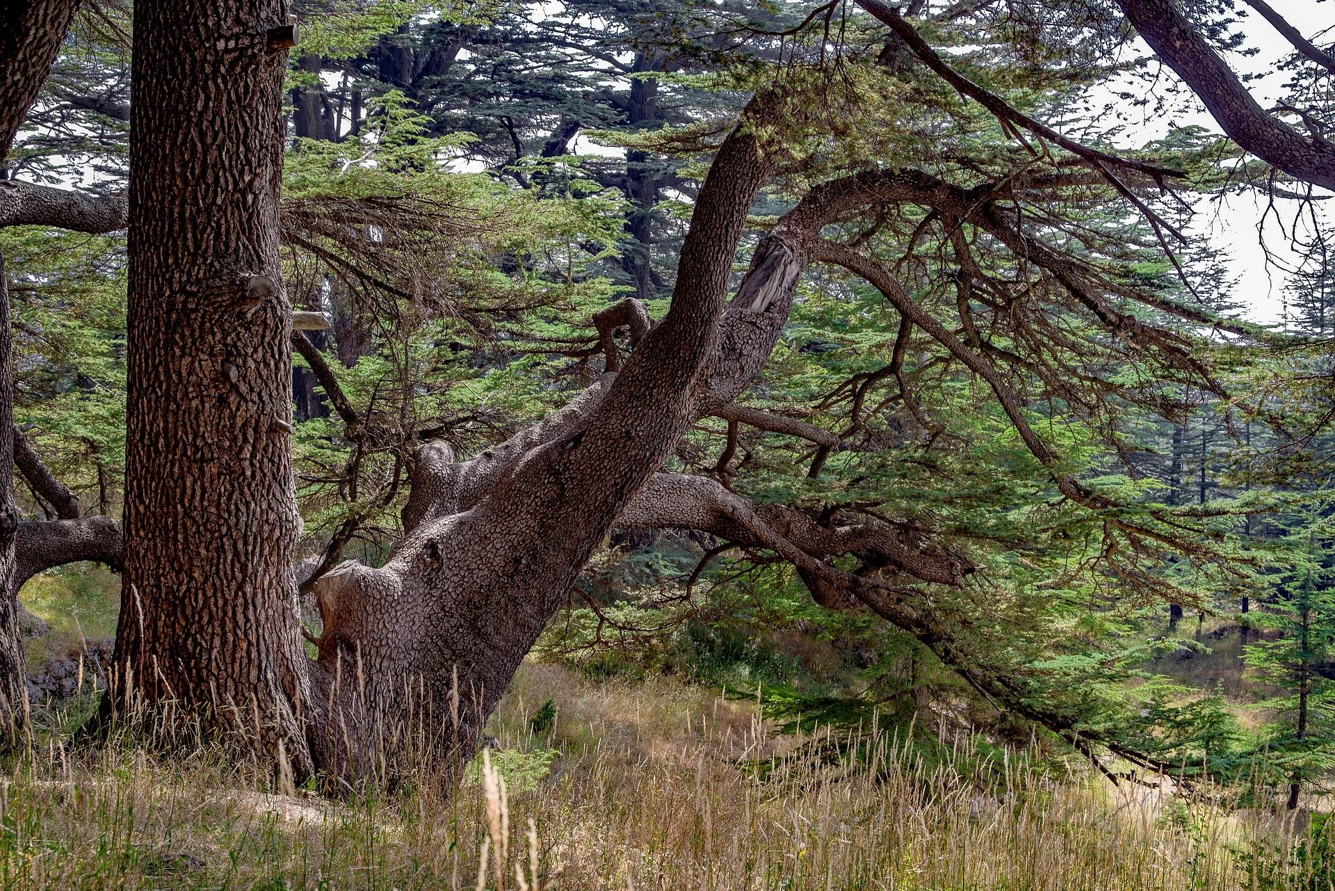 lebanon-cedar-tree.jpg