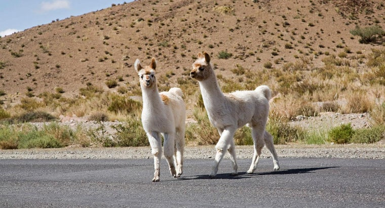 two-young-llamas-on-a-road-jama-pass-argentina-royalty-free-image_403f6a3498498ab.jpg