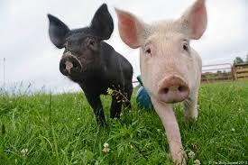 two pigs.jpg