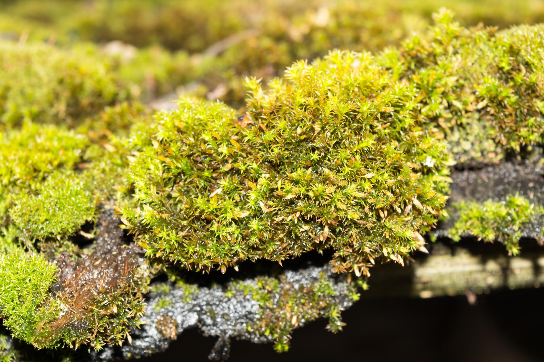 Green moss and algae on slate roof tiles .jpg