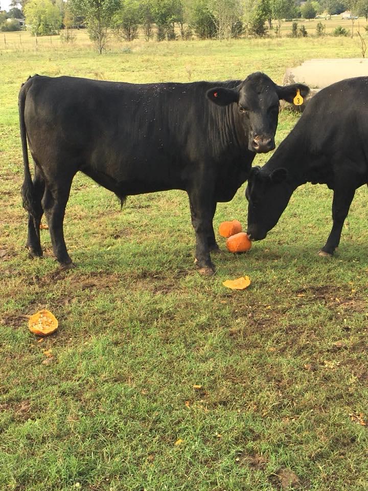 cows+pumpkins.jpg